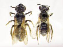 Andrena nasonii size variation