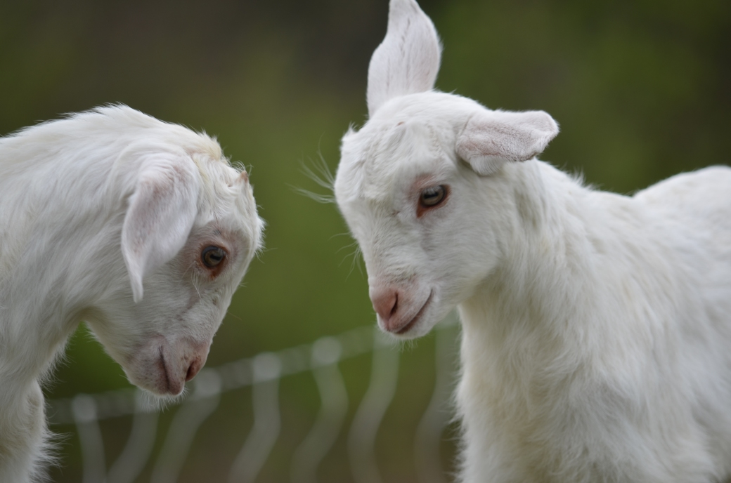 baby-goats_0359