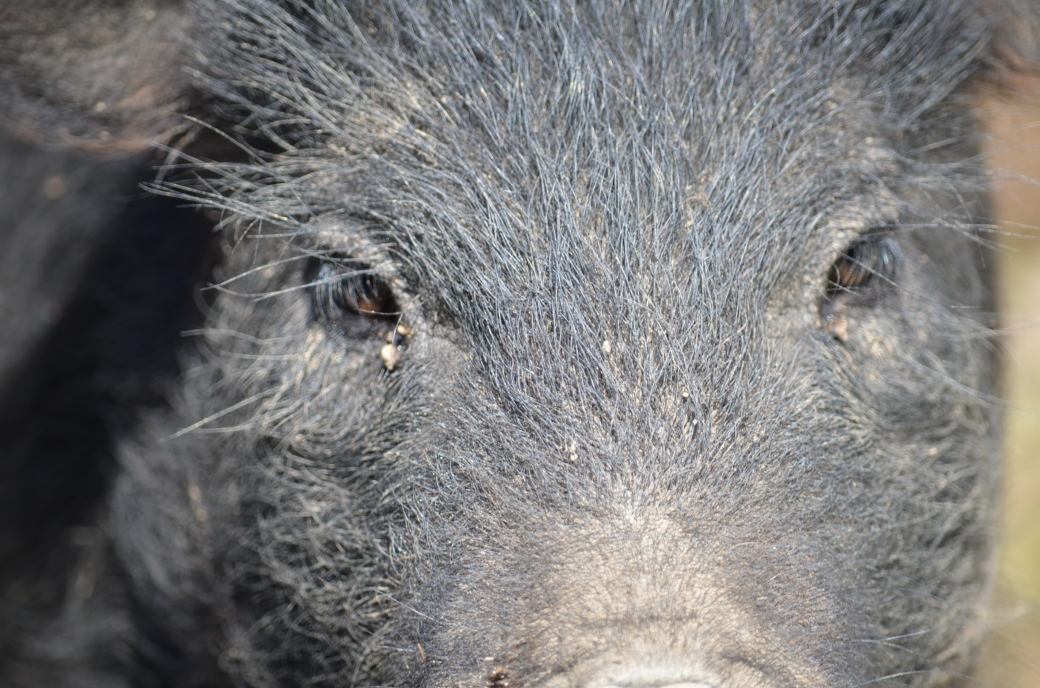 pigs_0256