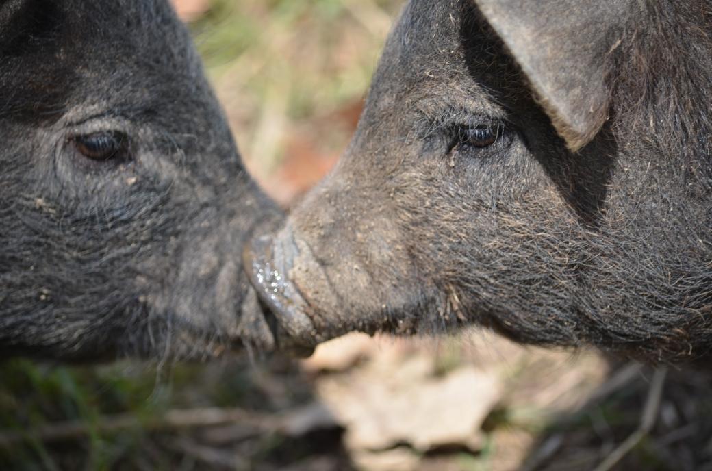 pigs_0260