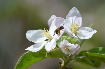 Andrena on Apple