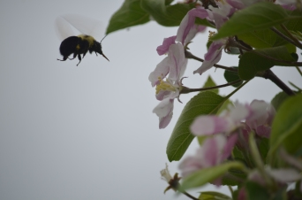 Bombus on Apple3