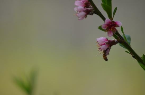 HoneyBee on Peach2