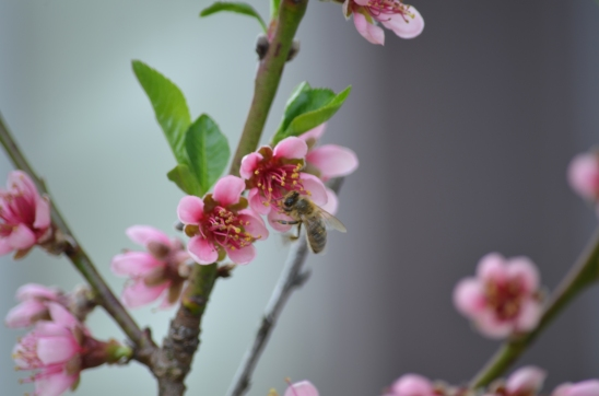 HoneyBee on Peach3