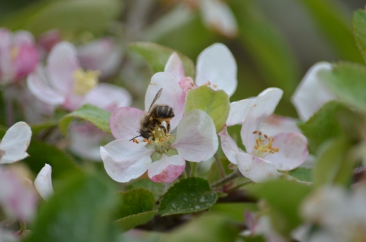 Osmia on Apple