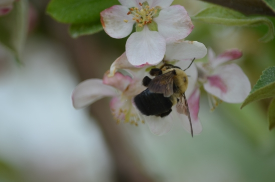 Xylocopa on Apple
