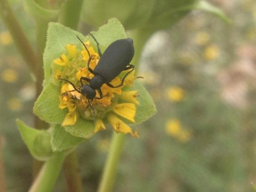Meloid on Silphium Flower